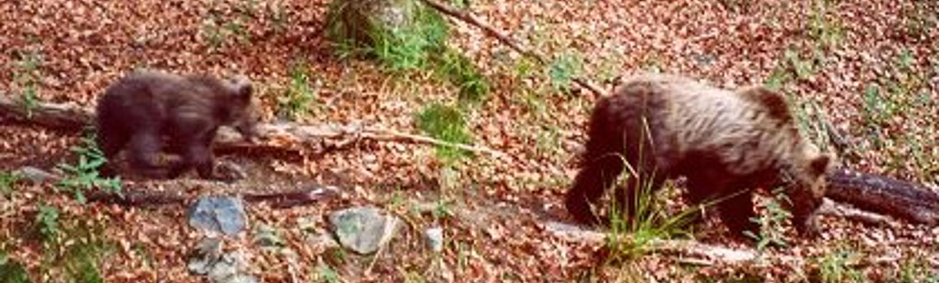 Protection de l'ours, l'état français condamné pour inaction