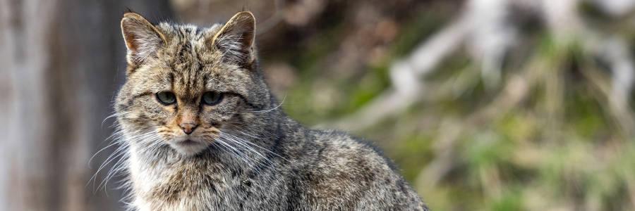 Regard sur la chat forestier